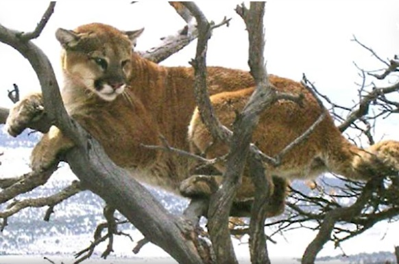 Park Runner Chokes Mountain Lion To Death