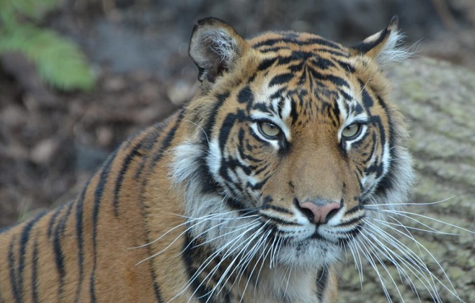 Sumatran Tiger Mauled By Potential Mate On First Meeting