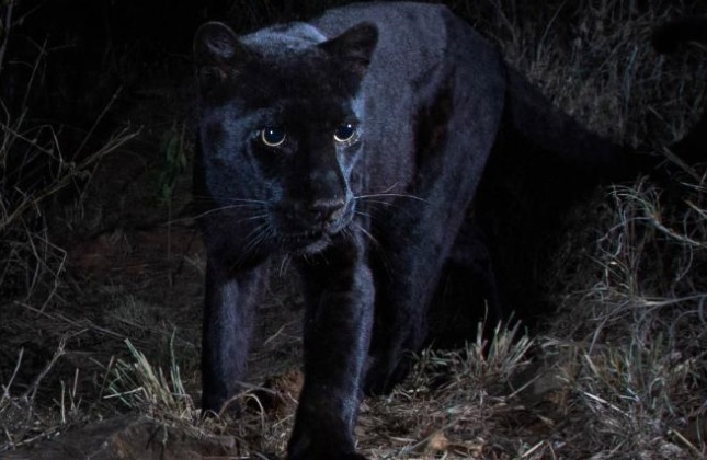 Black Leopard Sighted After More Than A Century